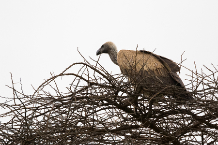African White-backed Vulture bird sitting on dried branch at Serengeti National Park in Tanzania, East Africa (Gyps africanus)