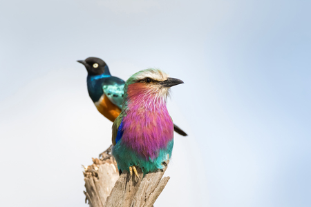Lilac Breasted Roller bird perching on wood with blurred Superb starling in the back at Serengeti National Park in Tanzania, East Africa
