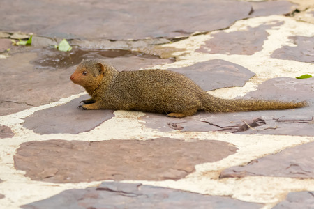 Common dwarf mongoose sitting on ground at Serengeti National Park in Tanzania, East Africa (Helogale parvula)