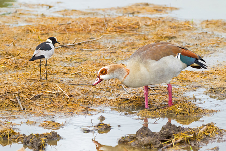 Egyptian Goose with teal speculum with Blacksmith lapwing (Blacksmith plover) wading in wet land at Serengeti National Park in Tanzania, East Africa