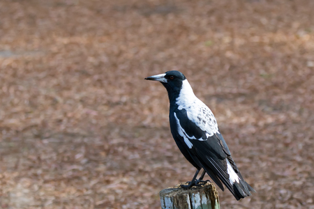 Australian magpie bird in black and white plumage perching on wood during Autumn in Australia (Gymnorhina tibicen)