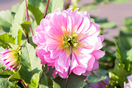 Back side of beautiful pink Dahlia flower with morning sunlight growing in garden