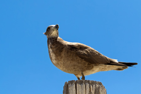 Pacific Gull standing on wood against blue sky in Australia (Larus pacificus)