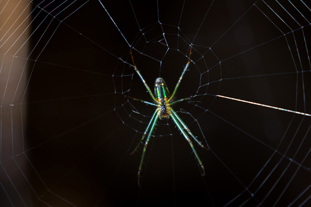Leucauge spider, long-jawed orb weaver with green color on its web with dark background