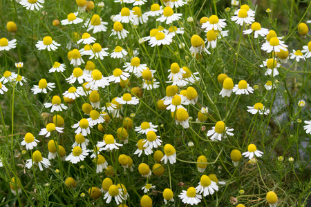 Chamomile flowers in yellow white to make Camomile  tea blossoming in home grown garden