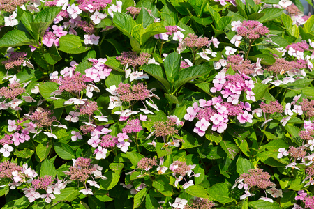 Flowers of Mountain Hydrangea in pink growing in garden, summer in Europe (Hydrangea Serrata)
