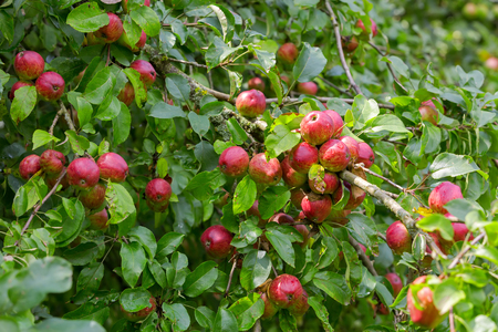 Home grown organic apple tree with red fruit growing in orchard, summer in Austria, Europe
