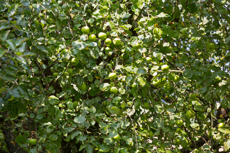 Home grown organic apple tree with green fruit growing in orchard, summer in Austria, Europe