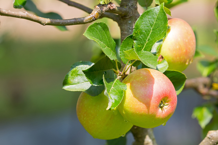 Home grown organic apple tree with fruit growing in orchard, summer in Austria, Europe