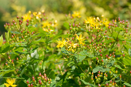 Yellow flowers of Tutsan, also called Shrubby St. John's Wort, Sweet amber (Hypericum androsaemum)