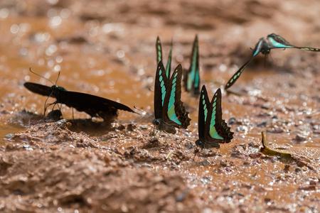 Common Bluebottle butterfly (Blue triangle) in greenish blue wing feeding on wet muddy ground at Khao Yai, Nakhon Ratchasima, Korat, Thailand (Graphium sarpedon)