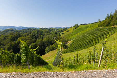 Landscape view of vineyard on hill in morning. These wine grapes are growing in south Styrian, wine country in Leutschach, Austria Фото со стока