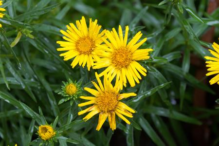 Closeup of yellow Sunwheel flower after the rain (Buphthalmum Salicifolium) Фото со стока