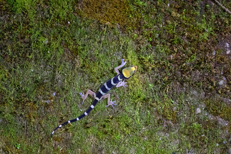 Malayan Forest Gecko, Banded bent-toed gecko climbing on moss at night in Malaysia (Cyrtodactylus pulchellus) Фото со стока