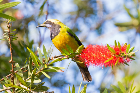 Male Orange-bellied Leafbird bird perching on bottle brush flower at Frasers hill, Malaysia, Asia