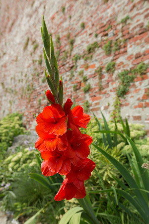 Red orange Gladiolus flower (sword lily) in the summer sun, growing in Austria, Europe