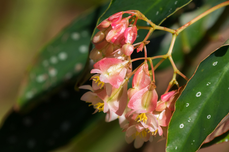 Sweet pale pink color of Begonia flower with white spot leaves growing in Thailand (Begonia maculata)