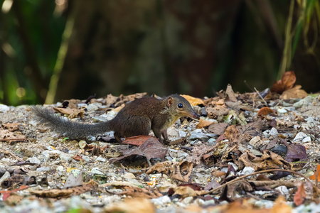 Cute common Tree Shrew walking on forest ground at Fraser's hill, Malaysia, Asia. Treeshrew is small mammal in reddish-brown with long nose.