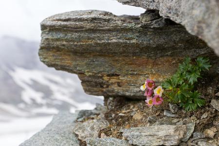 Glacier Buttercup, alpine flower in pink growing on high mountain at Stubai glacier in Tyrol, Austria (Ranunculus glacialis)