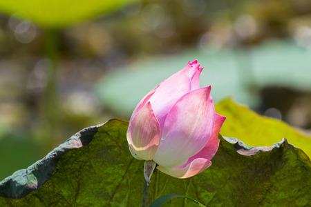 Pink flower of Indian lotus, also called sacred lotus, bean of India (Nelumbo nucifera)