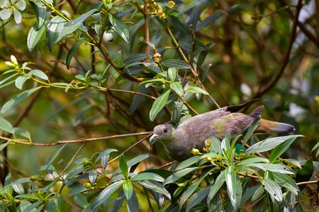 Pink-necked Green Pigeon feeding on fruit tree in Singapore (Treron vernans) Фото со стока