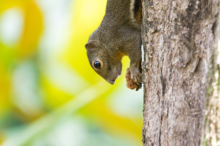Cute squirrel holding food climbing a tree upside-down with blurred bright background in Singapore Фото со стока