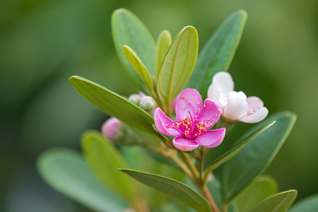 Pink flowers of Rose Myrtle growing in Singapore, Asia (Rhodomyrtus tomentosa (Aiton) Hassk)