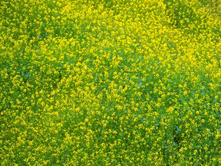 Yellow green flowers field of mustard plants growing in Dhulikhel, Nepal
