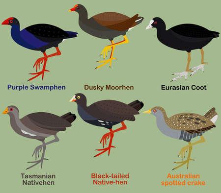 Cute bird vector illustration set, Purple Swamphen, Dusky moorhen, Coot, Native-hen, Crake, Colorful seabird cartoon collection