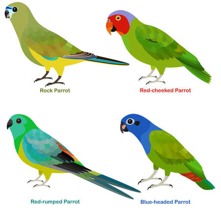 Cute Australia parrots bird vector illustration set, Rock, Blue-headed, Red-rumped, Red-cheeked Parrot, Colorful bird cartoon collection 向量圖像