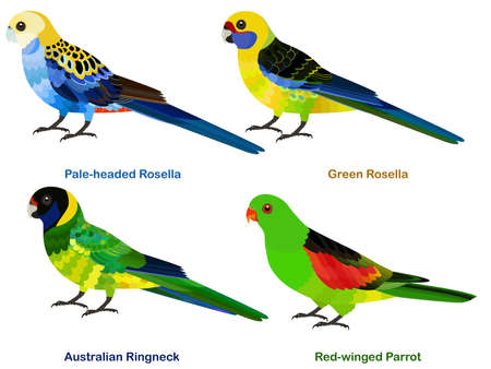 Cute Australia parrots, Rosella bird vector illustration set, Pale-headed Rosella, Green Rosella, Australian Ringneck, Red-winged Parrot, Colorful bird cartoon collection