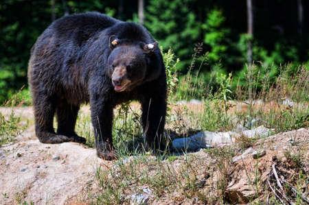 oso negro: gran oso negro Foto de archivo