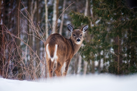 white tailed deer: young wild white tailed deer in a winter forest