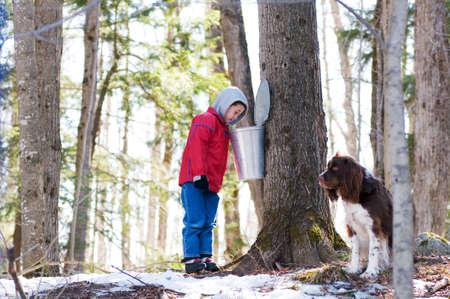 jarabe: chico joven que busca en un cubo de savia de arce
