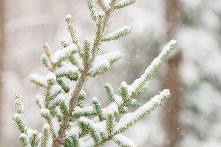 snow covered balsam fir branch