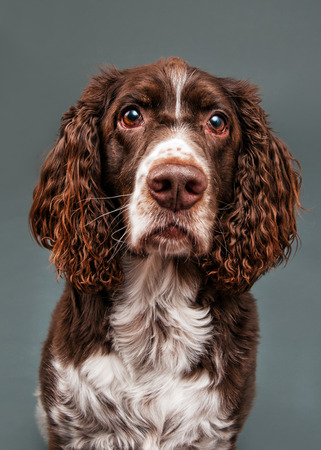 nose close up: adorable springer spaniel dog sitting and looking at the camera Stock Photo