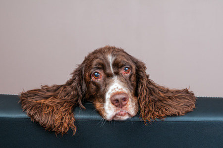 springer spaniel: close up of a sad looking springer spaniel dog