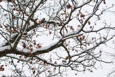 brown leaves clinging to a snow covered branch