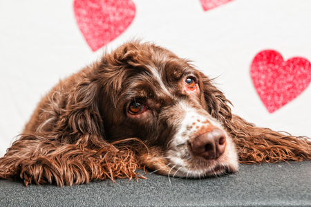 scruffy: adorable scruffy spaniel dog with a heart background