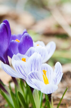 purple and white crocuses growing in a spring garden