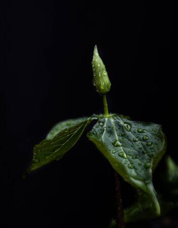 trillium: wet trillium bud
