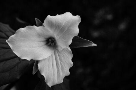 trillium: black and white trillium