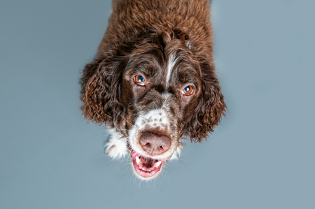springer spaniel: springer spaniel pup looking up
