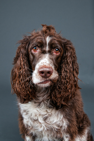 springer spaniel: springer spaniel  dog with a funny expression