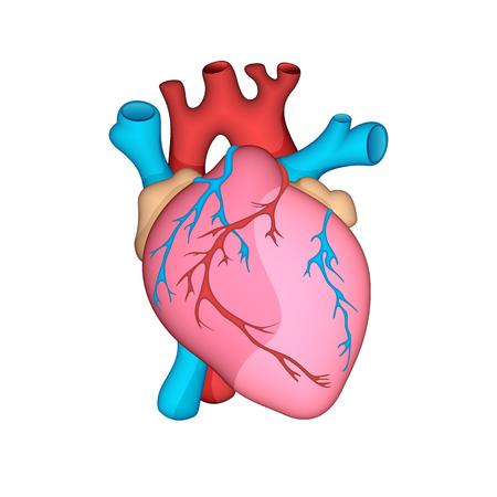 Anatomisch genaue menschliches Herz . Vektor-Illustration Standard-Bild - 95517291