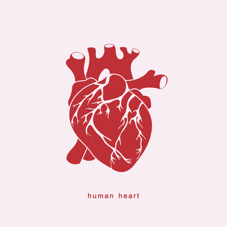Anatomically accurate human heart. Vector illustration.