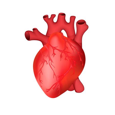Anatomisch genaue menschliches Herz . Vektor-Illustration