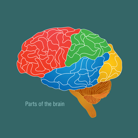 Parts of the brain. Color vector illustration