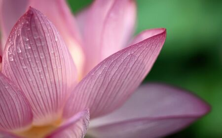 Pink lotus with water drops on green grass background