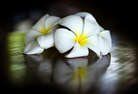kamboja: Three temple flowers lying on the table